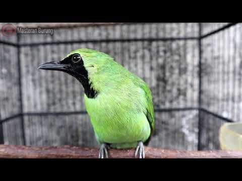 Suara Burung Cucak Ijo Gacor Jernih Untuk Pancing Emosi Burung Video Hewan Lucu Hewan