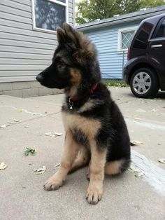 Miniature German Shepherd Full Grown