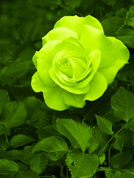 lime green rose