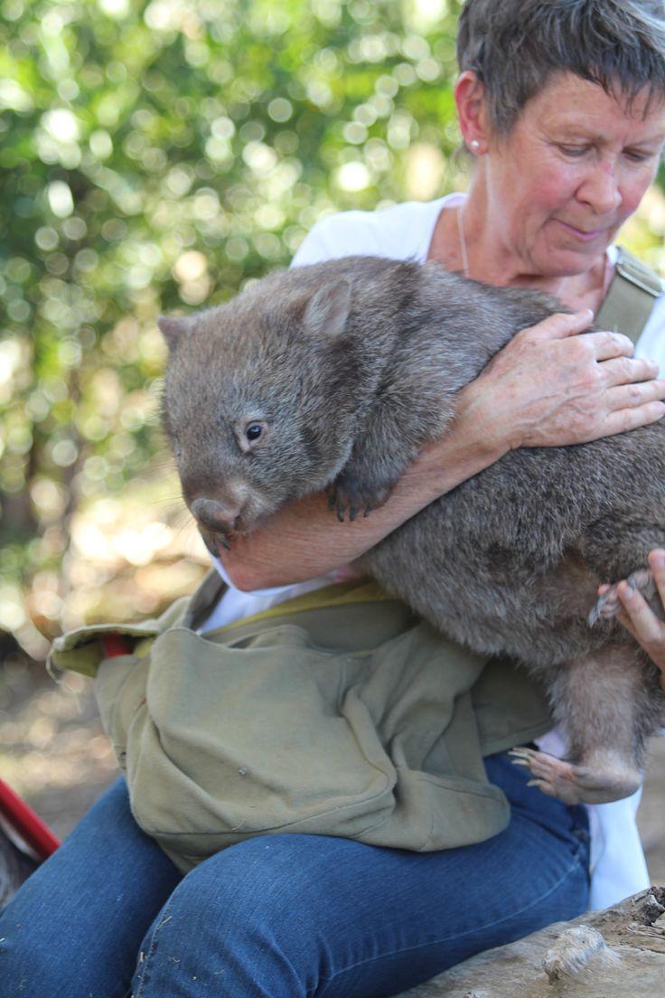 Wombats at Wildhaven Australian wildlife, Wildlife