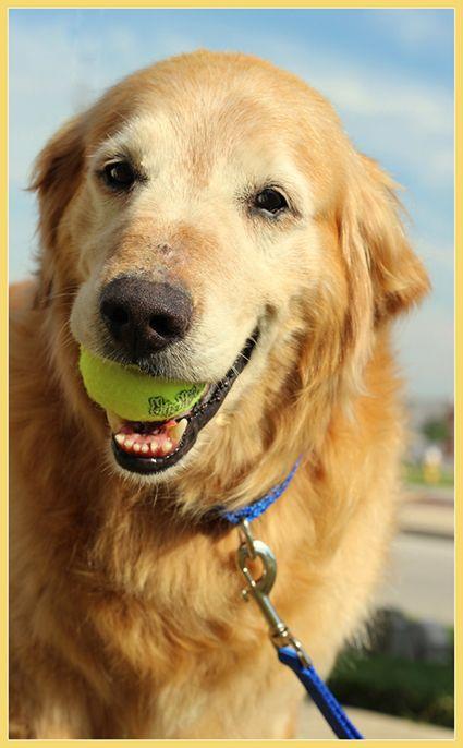 Adopted, Thank you!  Maynard needs a forever home, ASAP . Golden Retriever Rescue Resource-Golden Retrievers for adoption