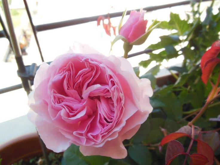 Rose Gartentraume 2015