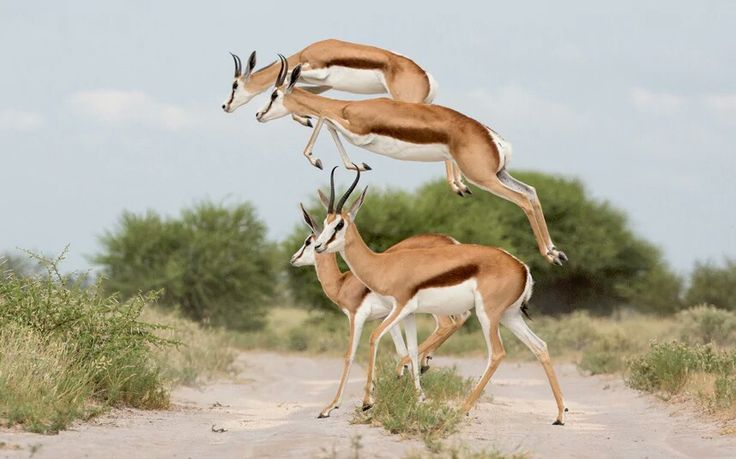 Springbok are mainly active around dawn and dusk. Activity is influenced by weather; springbok can feed at night in hot weather, and at midday in colder months. They rest in the shade of trees or bushes, and often bed down in the open when it is cooler.
