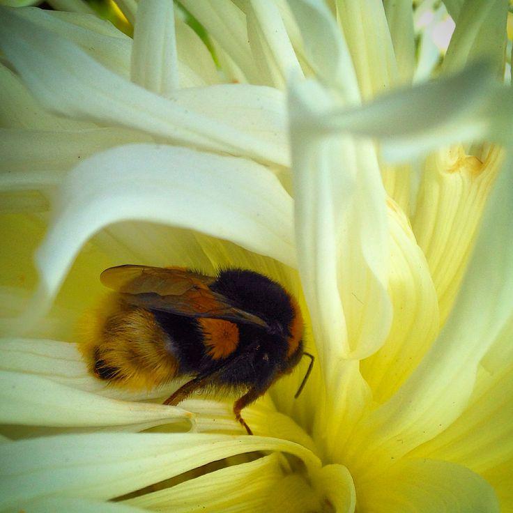 Bumblebee in a dahlia.