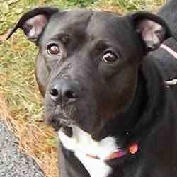 HILLIARD, OH - FELICITY is a American Pit Bull Terrier for adoption who needs a loving home.