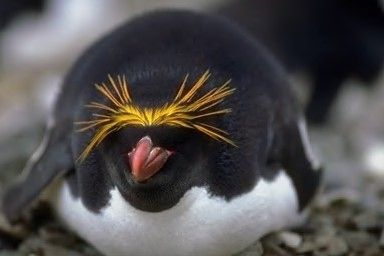Macaroni Penguins   Community Post: In Case You Were Worried That You'd Forgotten Every Type of Penguin