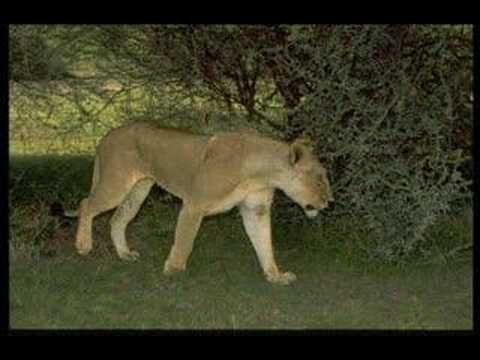 Vídeo amb boniques imatges de lleons