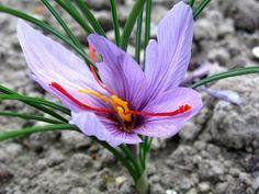 Cultivez et récoltez votre propre safran, en plantant en août les bulbes de crocus sativus
