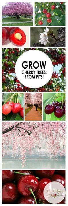 Grow Your Own Cherry Trees | Bees and Roses