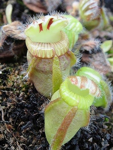 Though the Albany pitcher plant (Cephalotus follicularis) was first described in 1806, Charles Darwin missed this plant when the HMS Beagle stopped by southwestern Australia in 1839. The plant can be found in peaty swamps where it lures insects—mostly ants—with its nectar glands into a one- to two-inch tall pitcher filled with digestive fluid.  Read more: http://www.smithsonianmag.com