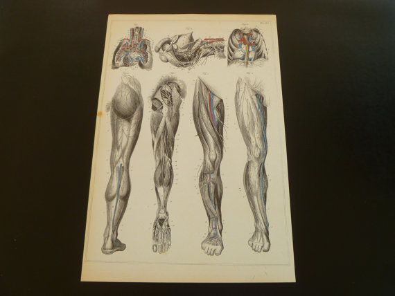 Old anatomy print of leg legs antique pictures by DecorativePrints, €13.95
