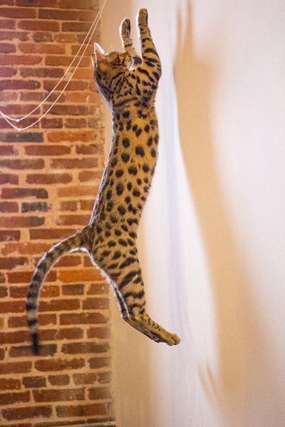 Client Brag Page - Savannah Cats - Select Exotics Lola - F3 Savannah #savannahcats #exoticcats #cats