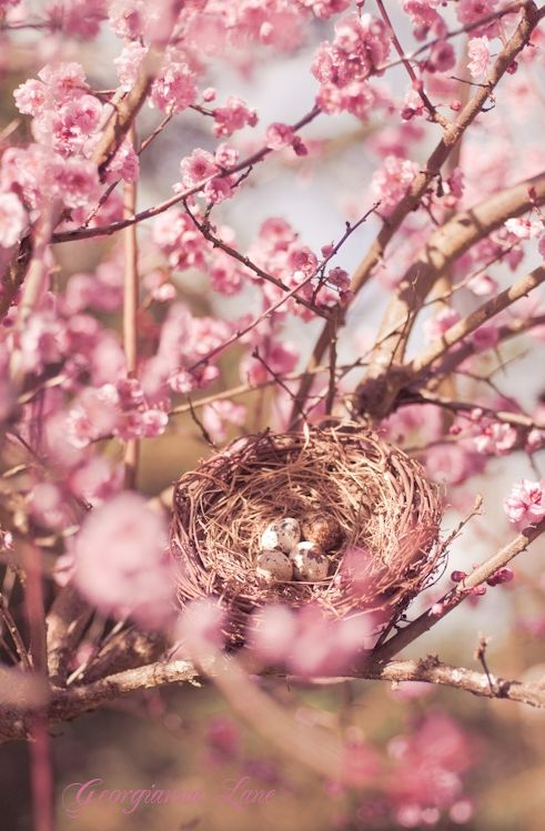 Nesting In the Cherry Blossom