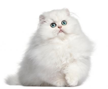 What Are the Most Popular Cat Breeds?