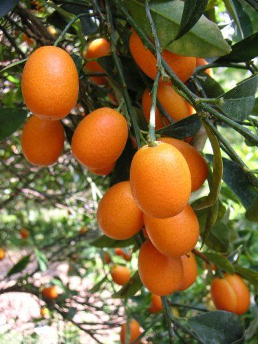 Kumquat Fruit Tree - I'm embarrassed to say I didn't know what kumquat looked liked. I've only ever seen it chopped up.
