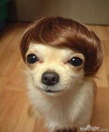 funny pictures Pictures of Funny AnimalsHair Piece, Justin Bieber, Puppies, Justinbieber, Funny Dogs, Wigs, So Funny, Little Dogs, Animal