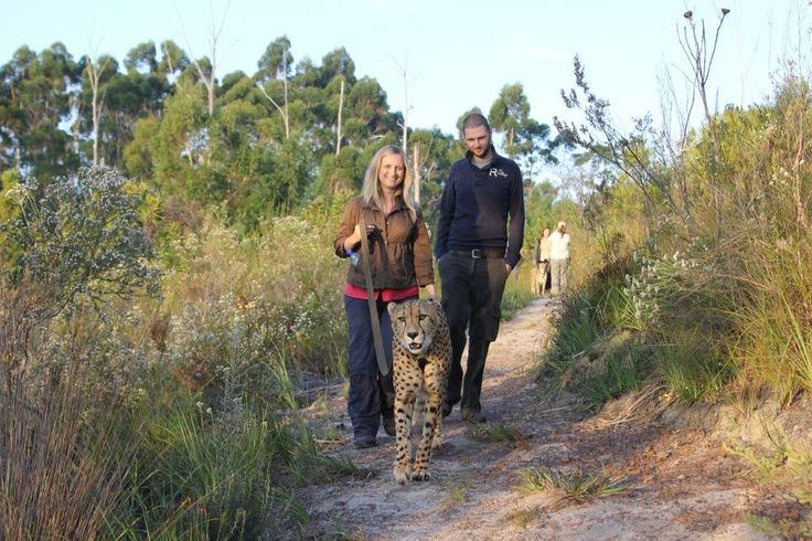 Cheetah Experience with Tenikwa Wildlife Centre near The Crags, Garden Route - South Africa www.dirtyboots.co.za