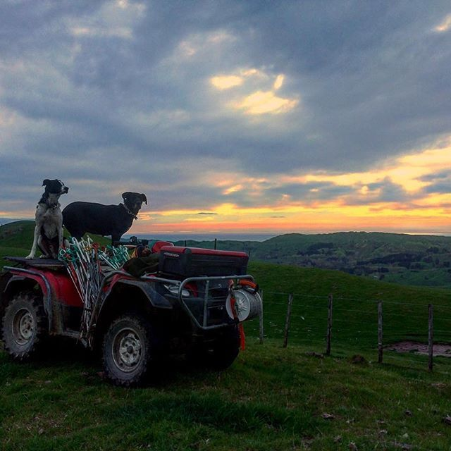 Farming in Hawke's Bay with a pretty sweet view #GreatThingsGrowHere #hawkesbay  Photo by @rymac96  ・・・ Nice Morning to go and shift some Bulls to a new paddock and put up an electric fence!  #newzealandfarming #huntaway #headingdog #scotsinnz