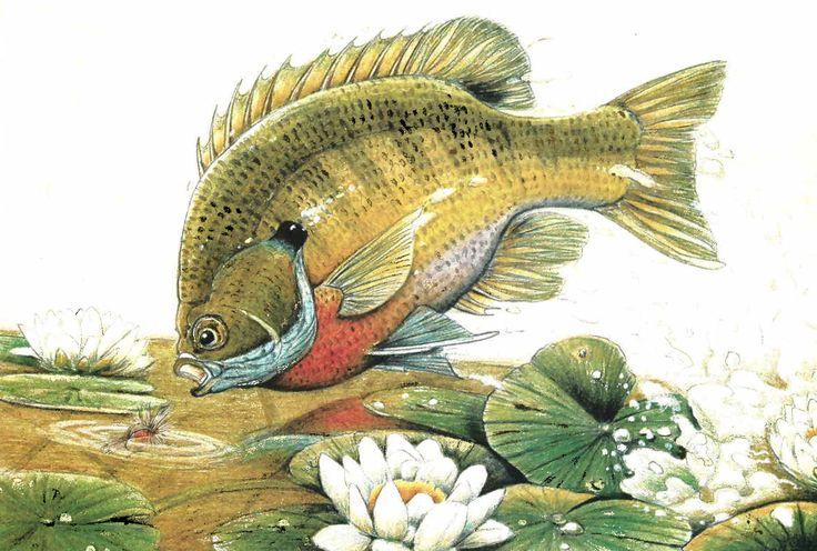 Fly Fishing For Sunfish And Panfish Bream Fishing Fish