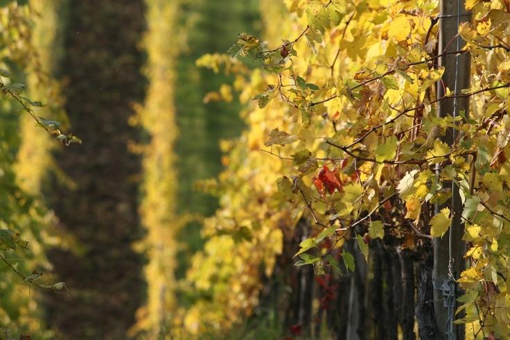 Lovely #autumn #vineyard :-) #umbertocesari #wine #sangiovese