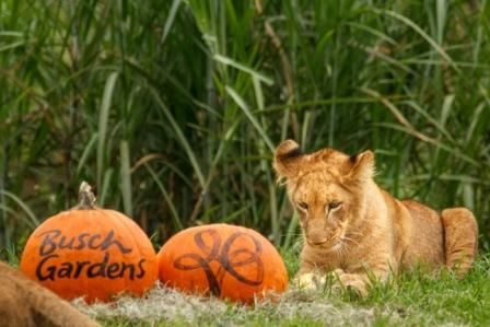 Lion Cubs at Busch Gardens Tampa Get in the Halloween Spirit | Busch Gardens Tampa