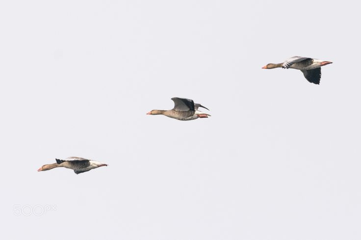 flying fromation - 3 greylag goose flying in formation
