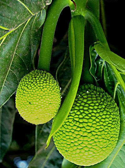 Breadfruit  (panapen)