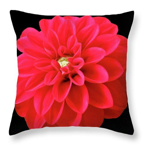 I have a few dahlias in the garden. The first ones opened up and they are quite gorgeous. Incredible color and softness. #pillow #tyyny #dyna #homedecor
