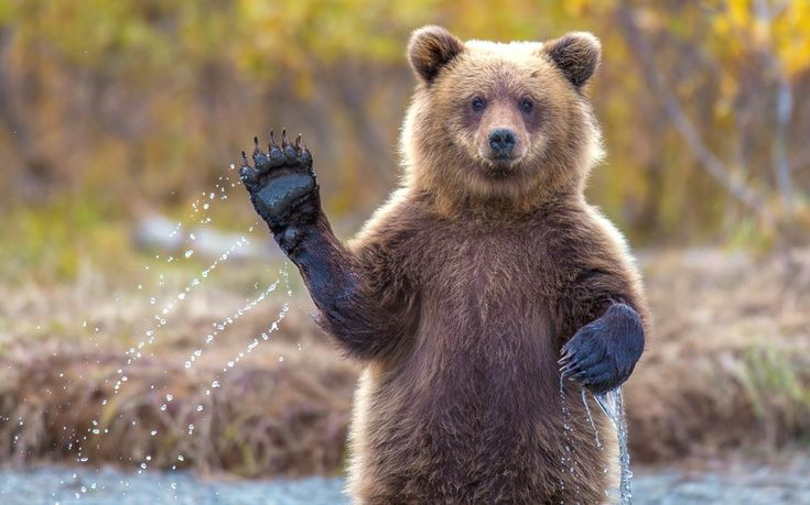 Photographer Kevin Dietrich took this photo of a young female grizzly bear waving for the camera as she braved chilly glacier water while watching her mother catch salmon in Chugach National Forest, Alaska.