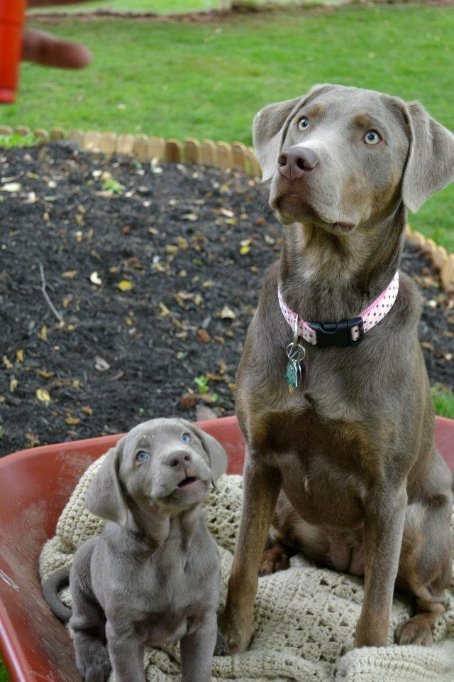 Silver Labs- if ever we have another dog.....