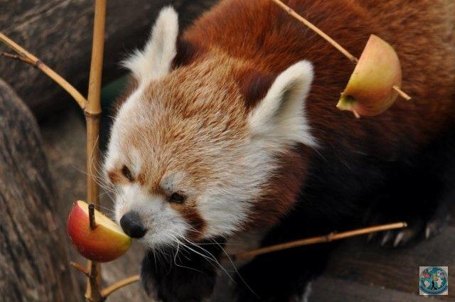 Știați despre panda roșu? Ei bine, aici e un panda roșu mic și drăguț de la Zoo Schonbrunn din Viena, Austria