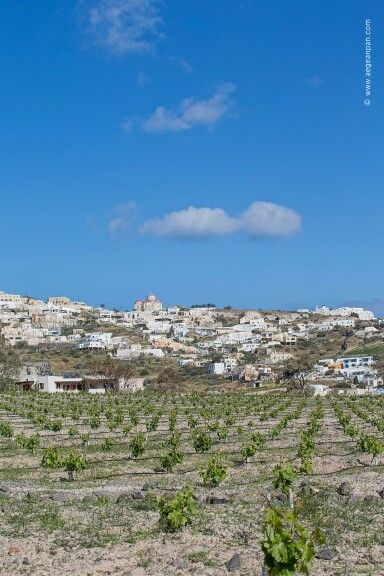 This privileged island and this blessed soil lead to incomparable wine flavors!  (See more at http://www.gastronomysantorini.com and http://www.winetourssantorini.com)