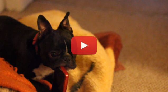 This Boston Terrier Just Got Caught Chewing on the IPhone! - Check Out his Owners Reactions here ► http://www.bterrier.com/?p=24543 - https://www.facebook.com/bterrierdogs