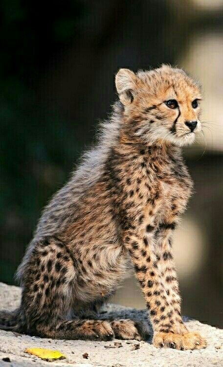 Best King Cheater Images On Pinterest Big Cats Wild - Cheetahs can be so shy that zoos give them emotional support dogs