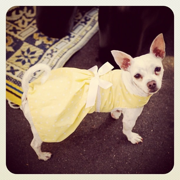 Who else in Bondi is gearing up for Easter?!! #dog #dress #easter #atbondi #sydney #bondi #chihuahua