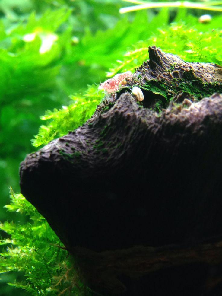 Camarón red cherry, ideales para ayudar en la limpieza de tu acuario plantado de agua dulce, adquiérelo en Acuaflora.