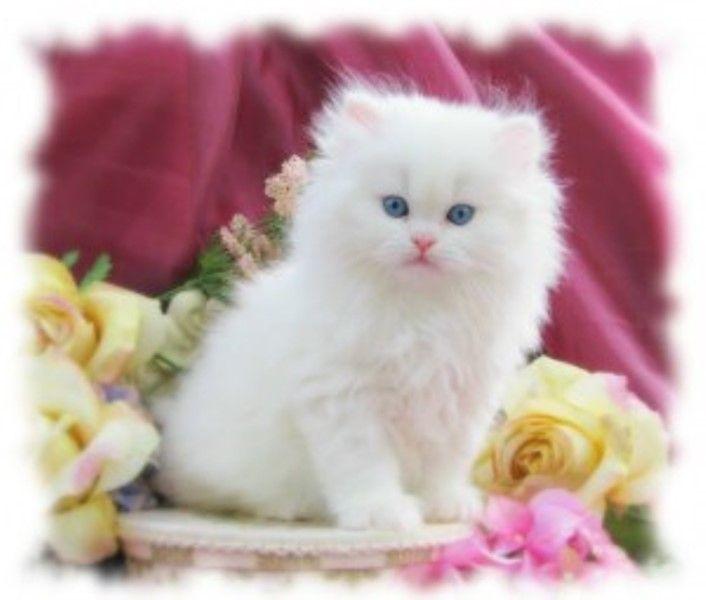 أجمل صور قطط حول العالم فلا شك أن الملايين يعشقون هذا الكائن الصغير اللطيف الذي يشعرك بشيء من اللطافة خاصة عندما تلعب هذه القطط مع الكر Cats Animals Cute Cats