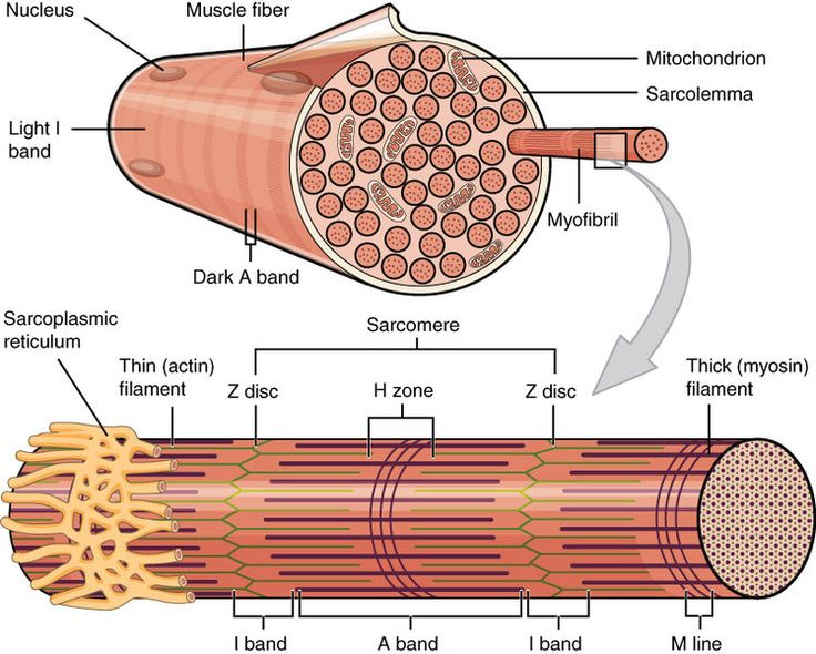 the two cells forming the neuromuscular junction (NMJ) - Google Search
