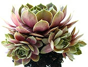 Great information on planting sempervivums, as well as climate, growing location, and soil requirements.