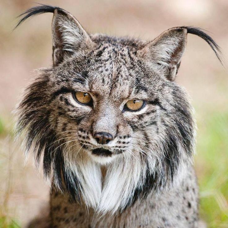 Iberian Lynx _ Héctor Garrido in 2020 Animals beautiful