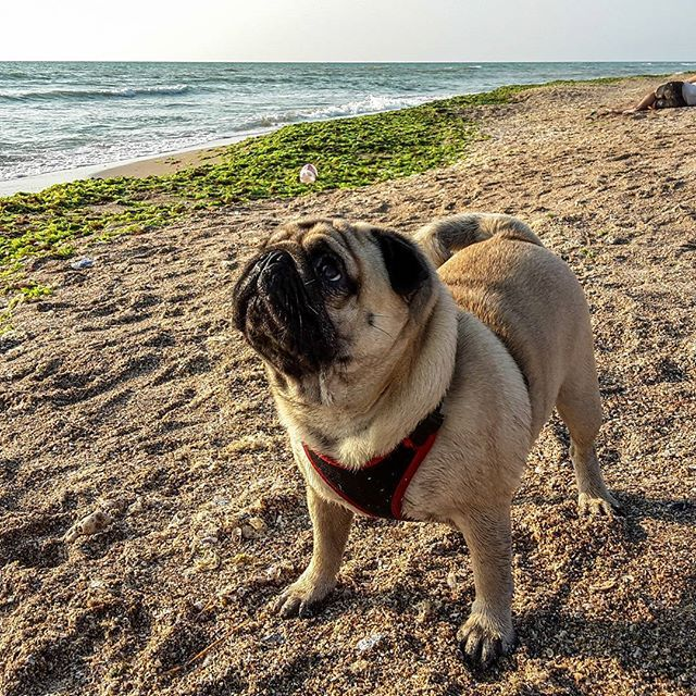 #pug #pugs #mops #sea #seaside #summer #funny