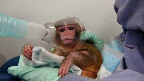 Un Mundo en Paz: Un video denuncia crueles experimentos con monos