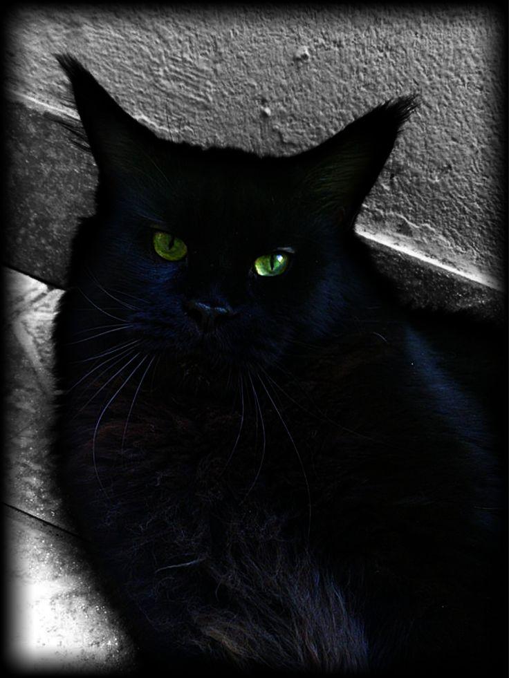 Eclipse Vivacoon*PL My black King