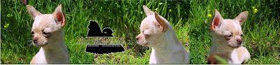 #GroomingAllDay: Chihuahua