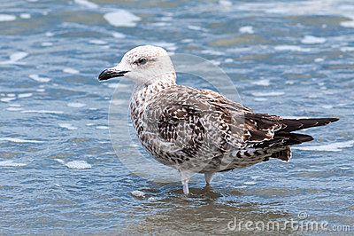 Download Young Seagull Nestling In Water Royalty Free Stock Images for free or as low as 0.69 lei. New users enjoy 60% OFF. 19,465,141 high-resolution stock photos and vector illustrations. Image: 34670809