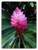 Alpinia Purpurata Rosy Dawn Seeds