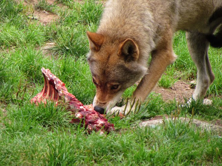 Etende wolf