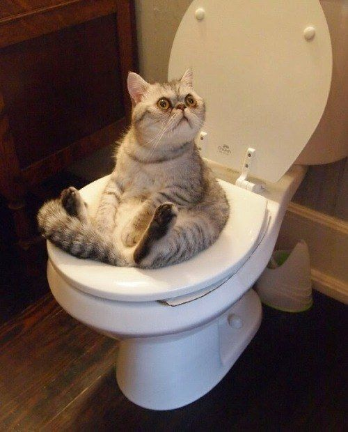 And this one who has learned how to toilet. | 18 Pictures That Prove Cats Are Evolving