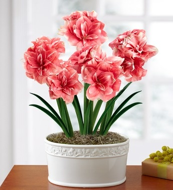Double Dream Pink Amaryllis | 1800FLOWERS.COM-101117