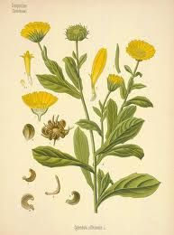 For centuries,calendulahas been used for its medicinal properties, particularly in North America and Europe. Its main purpose is toreduce inflammation, which is why people of the olden times used this for alleviating swelling around fractured bones. Calendula is also an antiseptic that can effectively promote healing ineczema, boils, and lesions. There are also some studies that probe calendula's potential in treating certain forms ofcancerlike the Heren's Carcinoma. Moreover, it can…